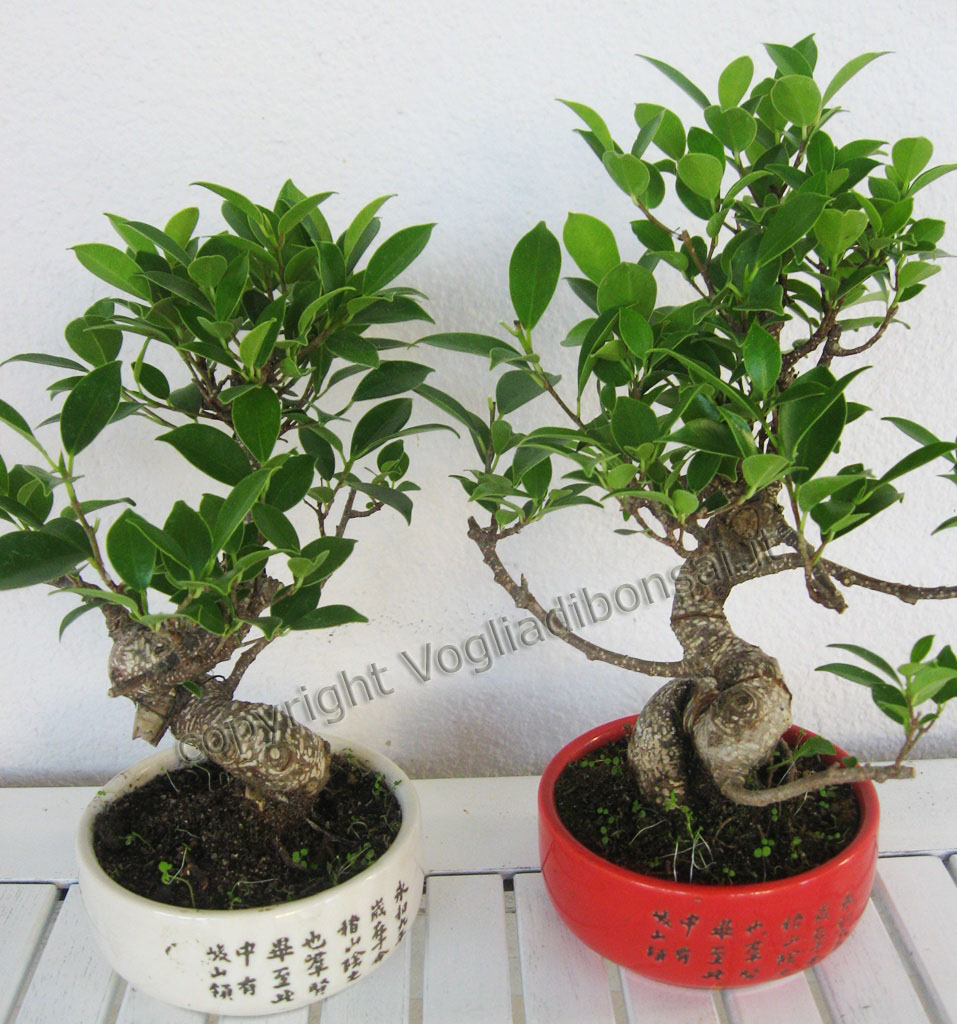 Vogliadibonsai proposes bonbonni re bonsai for every ceremony for Bonsai vasi
