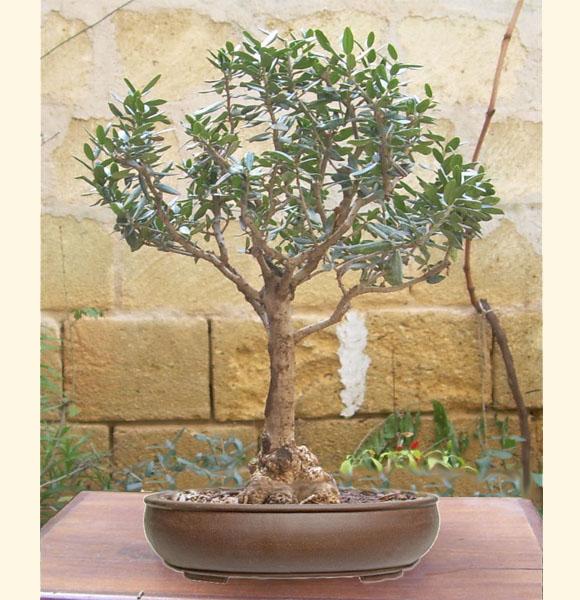 Vogliadibonsai proposes bonbonni re bonsai for every ceremony for Bonsai di ulivo