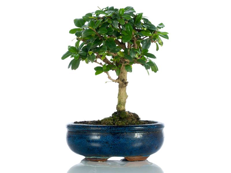 regalare bonsai significato