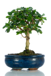Bomboniera bonsai Carmona medium