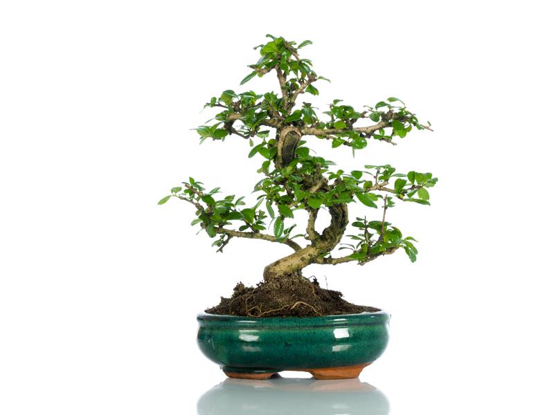 regalare un bonsai significato