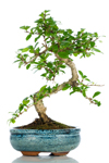 Bomboniera bonsai Carmona top