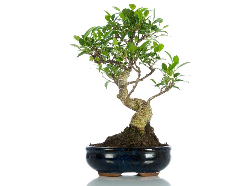 bonsai significato simbolico