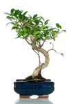 Bomboniera bonsai ficus top