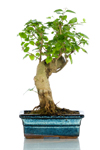 Bomboniera bonsai Ligustro medium