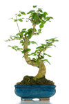 Bomboniera bonsai ligustro top