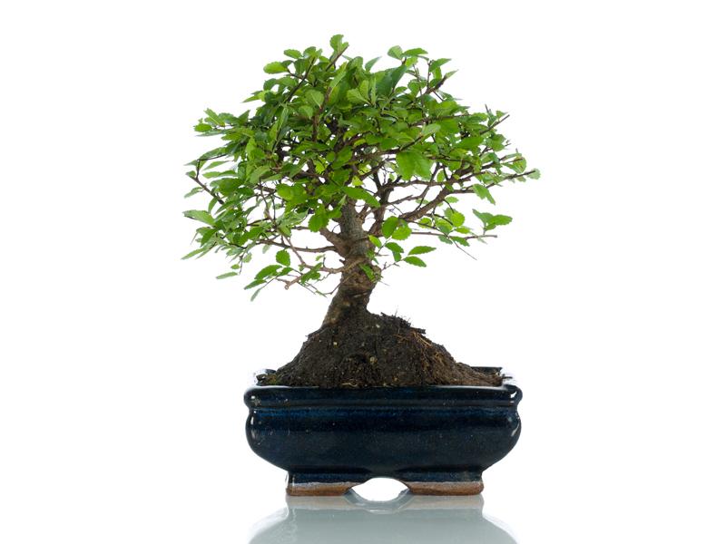 Bomboniere bonsai bomboniere originali bomboniere - Cura dei bonsai in casa ...