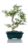 Bomboniera bonsai Olmo regalo