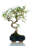 Bomboniera bonsai olmo top