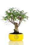 Bomboniera bonsai Olmo medium