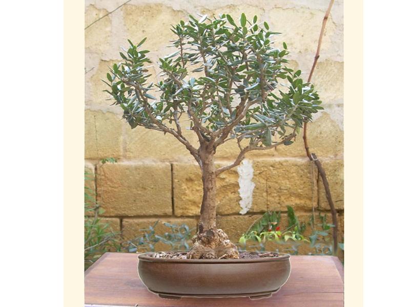 Bomboniere bonsai bomboniera bonsai bomboniere originali for Bonsai di ulivo