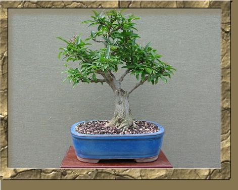 Cura dei bonsai e delle bomboniere bonsai - Cura dei bonsai in casa ...